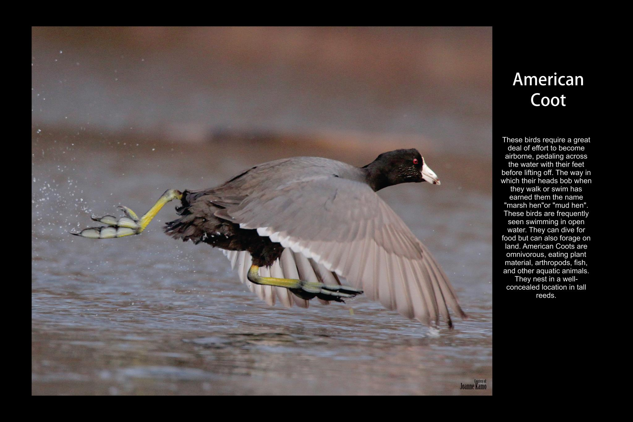 Birds of Freeport - American Coot